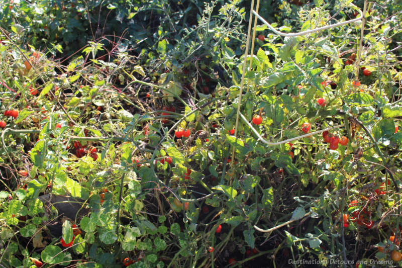 Cherry tomatoes growing at The Roost