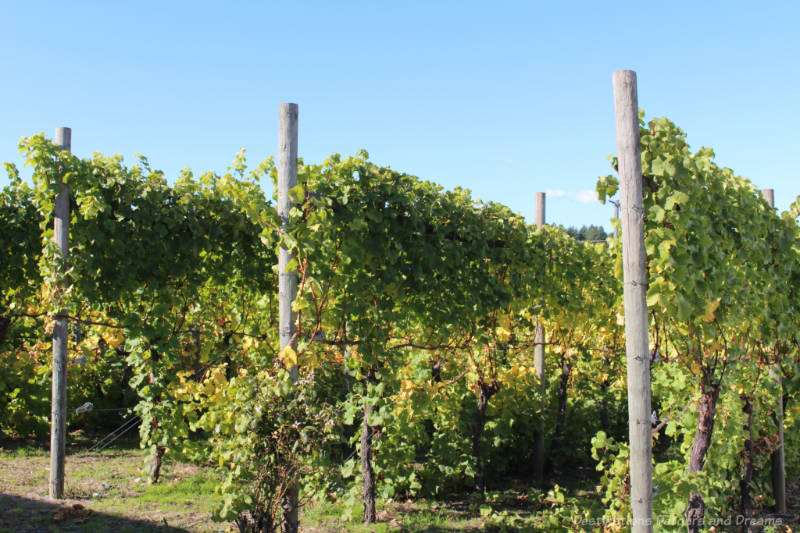 Staked grape vines at The Roost