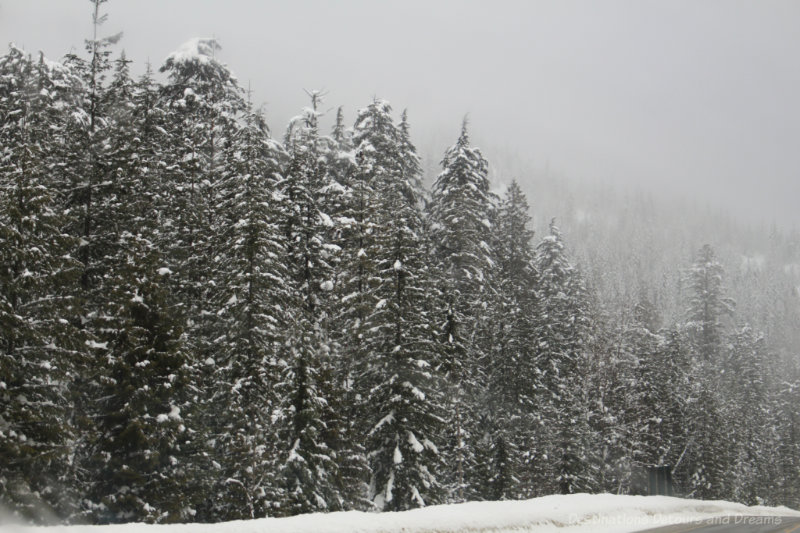 Snow covered fir trees in British Columbia mountains