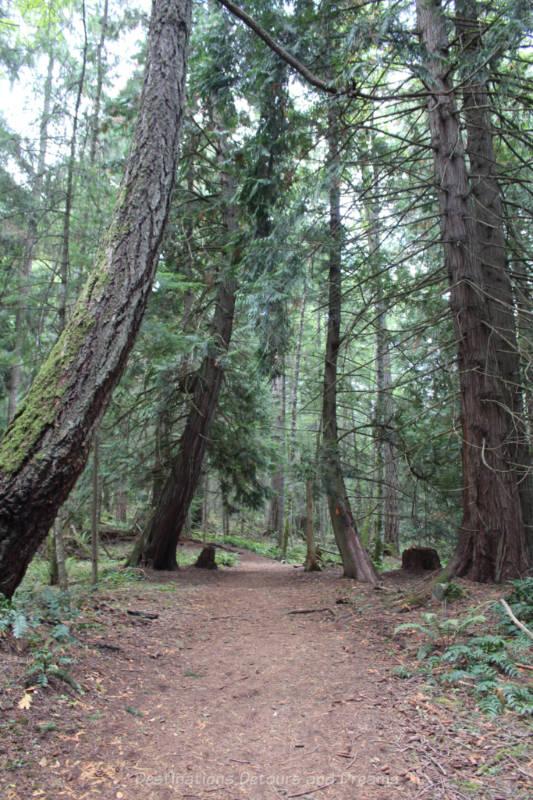 Hiking path through tall old growth forest on Salt Spring Island