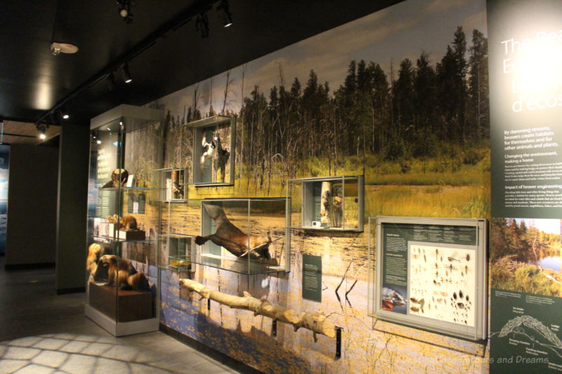 Display cases in Manitoba Museum containing boreal forest wildlife mounted on a wall painted with a woodland mural