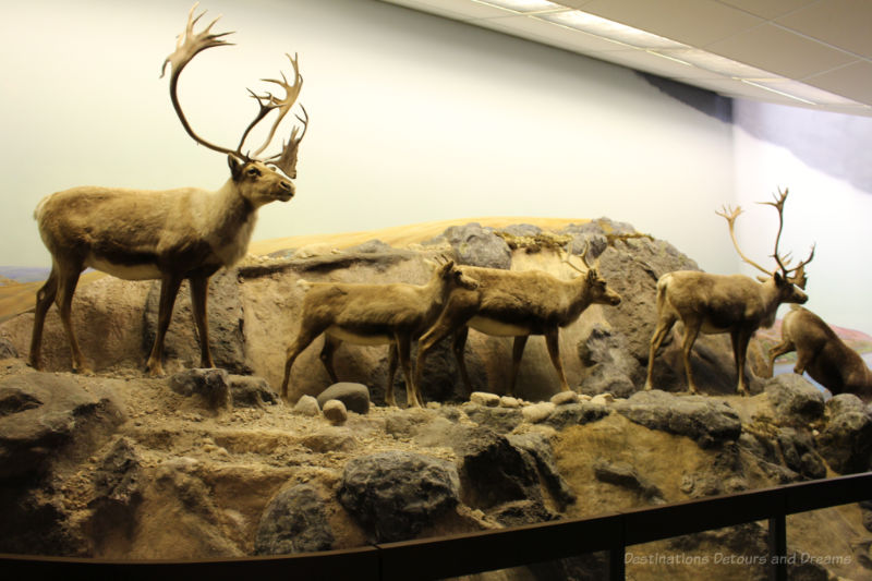 Re-enactment of the caribou autumn migration into the boreal forest