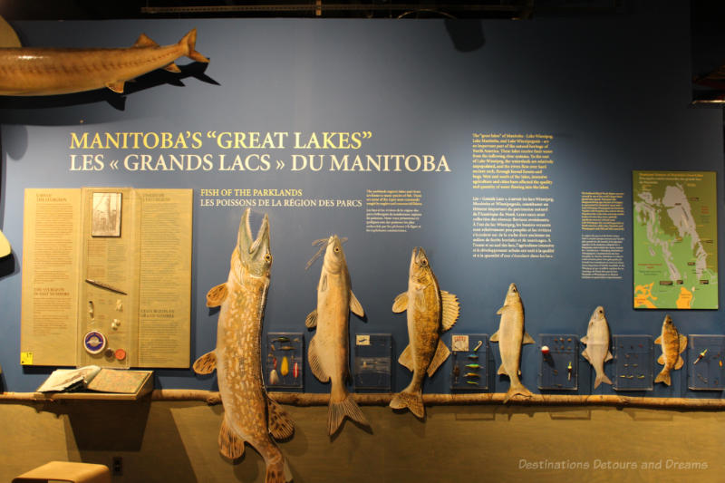 Various reconstructed fish mounted on a wall to illustrate the varieties of fish found in Manitoba lakes