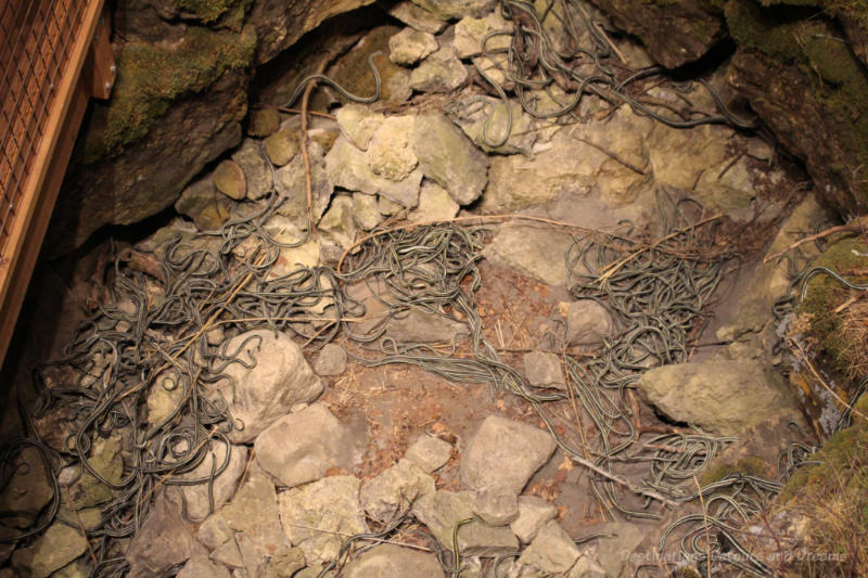 Reconstruction of a garter snake pit at Manitoba Museum