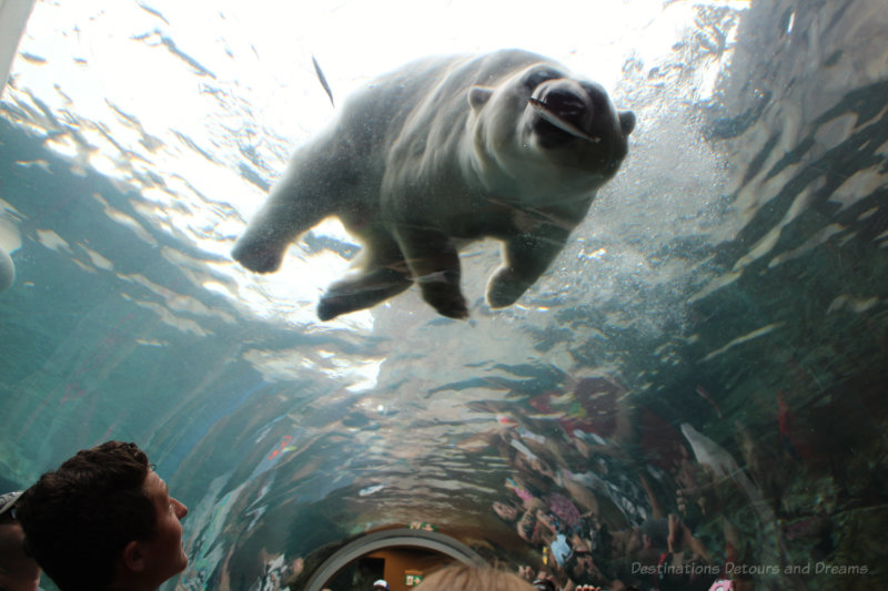 Polar bear with fish in mouth as view from inside the viewing tunnel at Assiniboine Park Zoo in Winnipeg, Manitoba