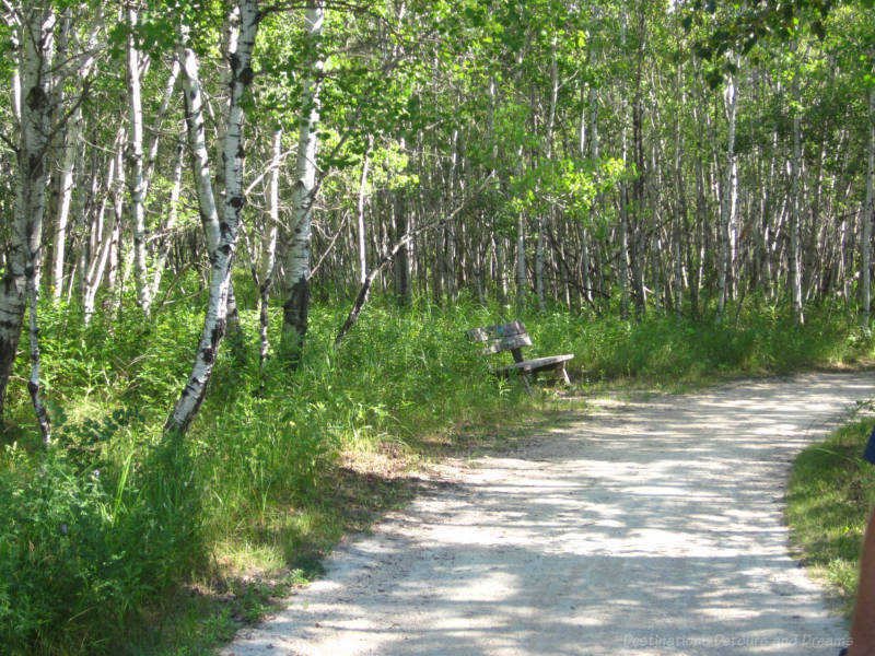 A walking path and a bench along the side of a birch forest