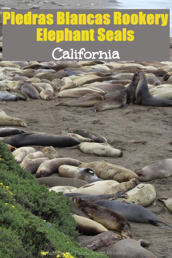 California Elephant Seals: Viewing northern elephant seals at Piedras Blancas rookery along California's central coast #elephantseal #California #rookery #PiedrasBlancas