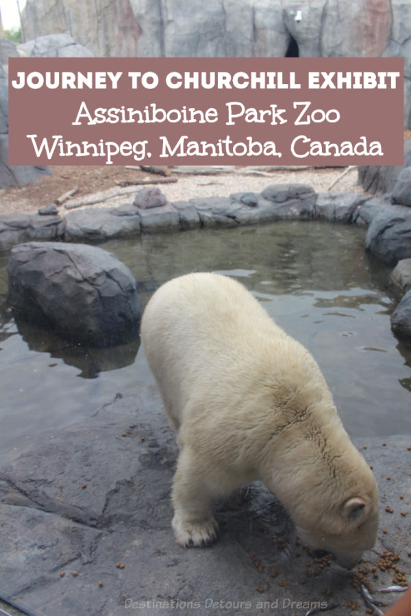 Journey to Churchill exhibit at Assiniboine Park Zoo is a top thing to do in Winnipeg, Manitoba. Polar bears are a prime attraction of this Canadian Signature Experience that a provides glimpse into northern landscapes and wildlife. #Canada #Winnipeg #Manitoba #zoo #Canadiantravel