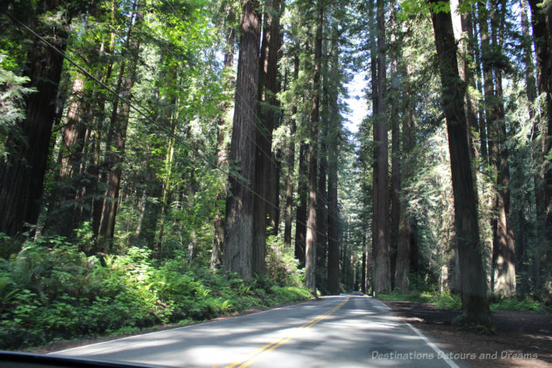 Road flanked by towering redwood trees along Avenue of the Giants