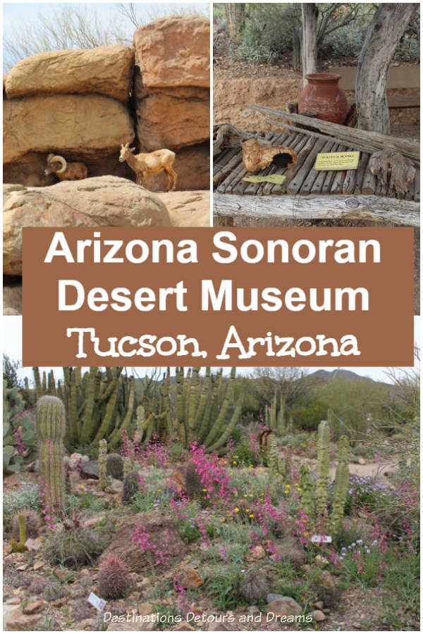 Arizona-Sonoran Desert Museum in Tucson, Arizona is a fusion experience - zoo, botanical garden, aquarium, natural history museum, and desert walking paths