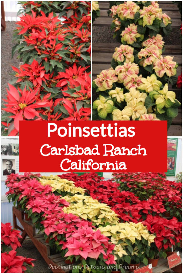 Poinsettias at Carlsbad Ranch Flower Fields in North San Diego County, California. Poinsettias are associated with the Christmas season. Carlsbad Ranch is known for its fields of ranunculus flowers ablaze with colour in the spring, but poinsettias are also part of its history with beautiful displays and information about these festive plants.