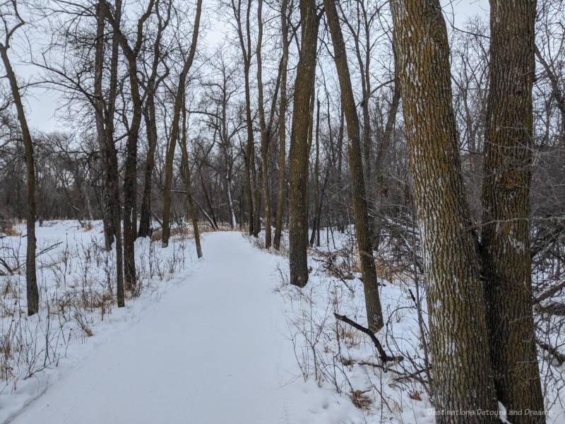 Snow packed walking trail through oak trees