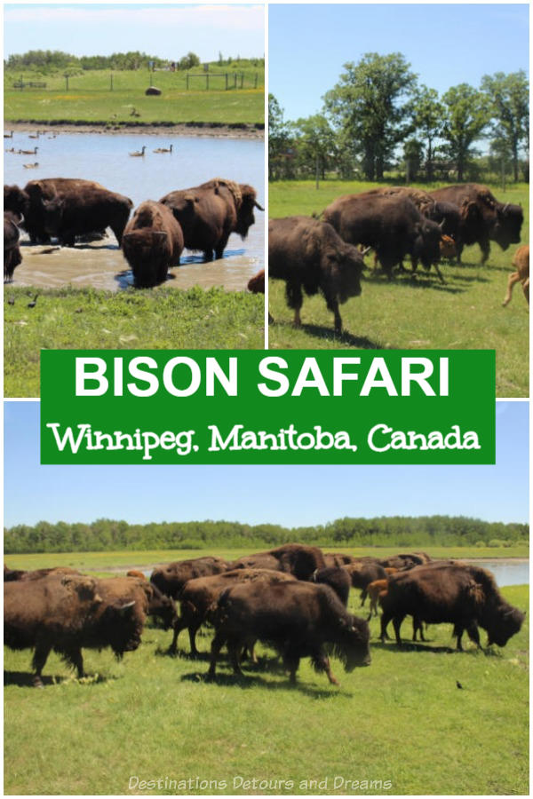Bison safari at FortWhyte Alive in Winnipeg, Manitoba, Canada gives you a chance to see these majestic prairie beasts up close