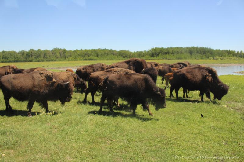 A herd of bison in grassland at FortWhyte Alive in Winnipeg, Manitoba