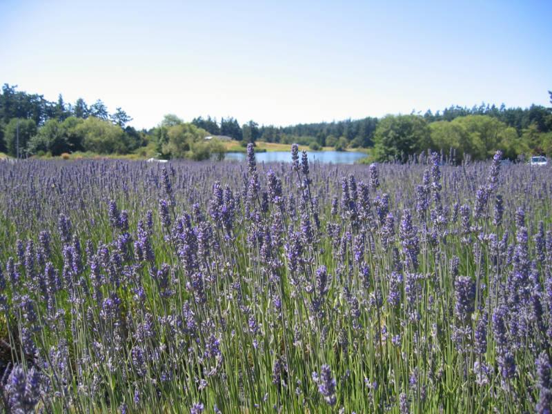 Field of lavender in bloom; Photo Credit: San Juan Islands Visitors Bureau