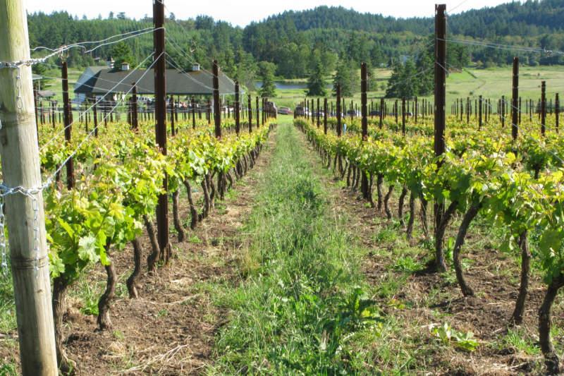 Grapes growing in rows in a vineyard. Photo courtesy of San Juan Islands Visitors Bureau.