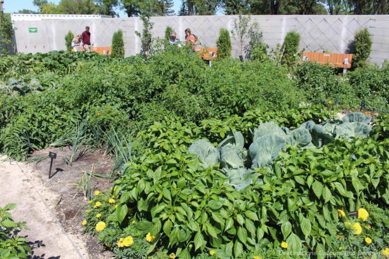 A garden bed of assorted vegetables surrounded by marigolds