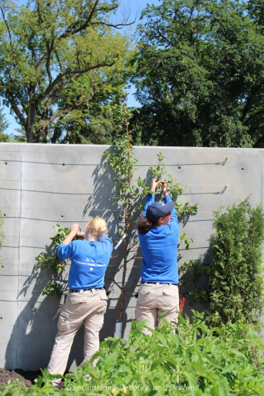 Two gardeners spreading out the branches of a pear tree against a cement espalier wall