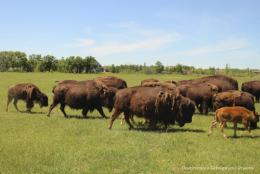 Bison Safari on the Canadian Prairie