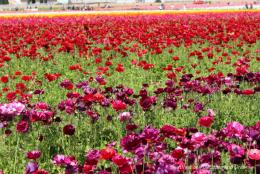 A Colourful Blaze of Spring Flowers at Carlsbad Ranch Flower Fields